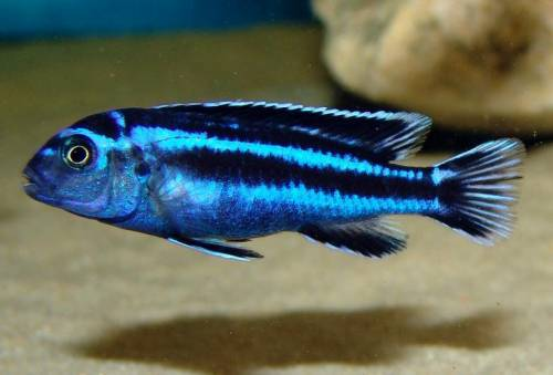 malawi 200L Melanochromis_maingano