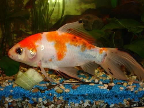 Goldfisch mit koi colorierung for Koi und goldfische