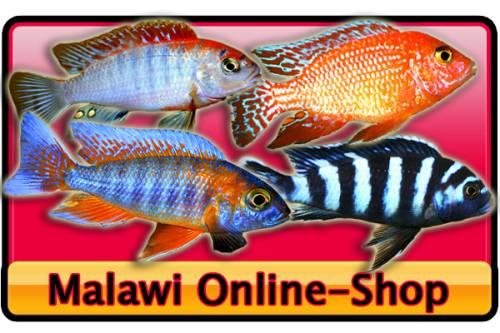 Malawi versand gr te arten auswahl im netz for Zierfisch versand